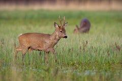 Roe deer buck in winter coat in spring with doe grazing in background. Roe deer, capreolus capreolus, buck in winter coat in spring walking on a green flooded royalty free stock photo