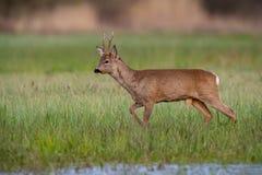 Roe deer buck in winter coat in spring walking on a green flooded meadow. Roe deer, capreolus capreolus, buck in winter coat in spring walking on a green flooded stock photos