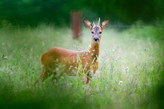 Roe deer buck. Young Roe deer buck in forest, seen from a hide royalty free stock photos