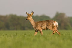 Roe deer buck Royalty Free Stock Image