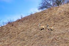 Roe deer bucks Royalty Free Stock Image