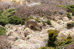 Roe deer in a bush in Yeongsil Royalty Free Stock Photos
