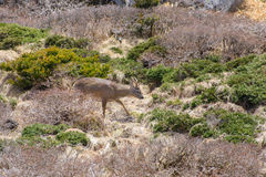 Roe deer in a bush in Yeongsil Stock Photos