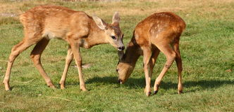 Roe deer calf Royalty Free Stock Photo