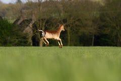 Roe Deer Capreolus capreolus bounding through summer farmland. Field, United Kingdom Stock Photography