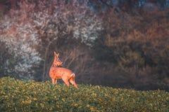 Roe deer, capreolus capreolus, buck in summer on a meadow at sunset. Roe deer, capreolus capreolus, buck in summer on a meadow full of flowers. Roebuck at royalty free stock photos