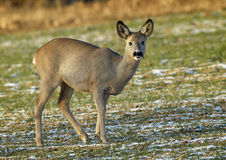 Roe Deer (Capreolus capreolus). Roe grazing on the corn Royalty Free Stock Photo