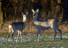 Roe Deer (Capreolus capreolus). Roe and roe - calf on field Stock Photography