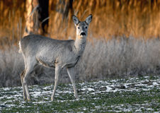 Roe Deer (Capreolus capreolus). Roe grazing on the corn Royalty Free Stock Photography