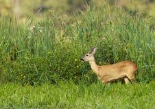 Roe Deer (Capreolus capreolus). Roe Deer grazing in reed royalty free stock image