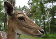 Roe Deer ( Capreolus capreolus ) Stock Images