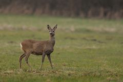 Roe Deer (Capreolus Capreolus) Royalty Free Stock Photos