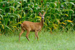 Roe Deer (Capreolus Capreolus). The deers you can see frequently  in the dawn. Sadly very much of this beautiful animals you can see on the roadside, because Stock Photos