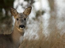 Roe Deer (Capreolus capreolus). A close up of a beautiful roe deer, Uppland, Sweden stock photography