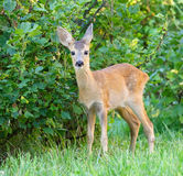 Roe Deer ( Capreolus capreolus) Royalty Free Stock Photos