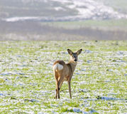 Roe Deer ( Capreolus capreolus ) Stock Photo