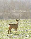 Roe Deer ( Capreolus capreolus ) Stock Photos