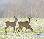 Roe Deer ( Capreolus capreolus ) Royalty Free Stock Photo