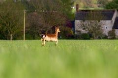 Roe Deer Capreolus capreolus bounding through summer farmland. Field, United Kingdom Royalty Free Stock Photography