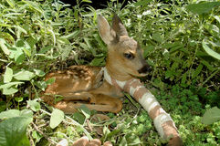 Roe deer (Capreolus capreolus) with broken leg Royalty Free Stock Photos