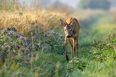 Roe deer buck walking along grain field in the sunny summer morning. Roe deer, capreolus capreolus, buck approaching curiously along grain field in the sunny royalty free stock photography