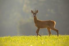 Free Roe Deer, Capreolus Capreolus, Buck In Summer. Stock Image - 142778521
