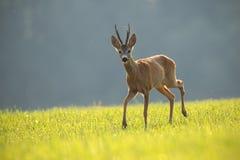 Roe deer, capreolus capreolus, buck in summer. stock photo