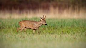 Roe deer buck in winter coat in spring walking on a green meadow in daylight. Roe deer, capreolus capreolus, buck in winter coat in spring walking on a green royalty free stock image