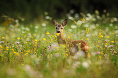 Roe deer, Capreolus capreolus, chewing green leaves, beautiful blooming meadow with many white and yellow flowers and animal Stock Photo