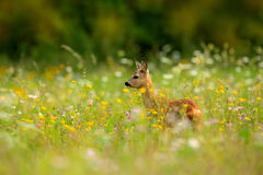 Roe deer, Capreolus capreolus, chewing green leaves, beautiful blooming meadow with many white and yellow flowers and animal. Summ Royalty Free Stock Photos