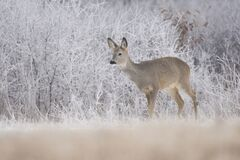 Free Roe Deer Capreolus Capreolus,female Of This Big Mammal Standing On A Frozen Field, Winter Time Royalty Free Stock Photography - 185662527
