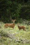 Roe deer, Capreolus capreolus Royalty Free Stock Image
