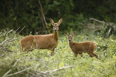 Roe deer, Capreolus capreolus Royalty Free Stock Photos