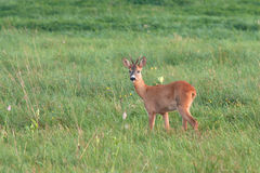 Roe deer Stock Photography