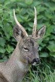 Roe deer, Capreolus capreolus Stock Photography