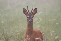 Roe deer, capreolus capreolus, in the mist. Wild roebuck on a meadow with flowers and fog in background Stock Photos