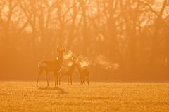 Roe deer, capreolus capreolus, morning backlight silhouette. royalty free stock photo