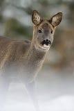Roe deer Capreolus capreolus portrai Stock Photography