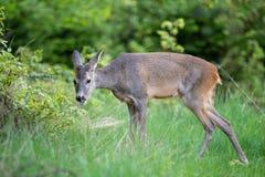 Roe deer, Capreolus capreolus. stock images