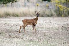 Roe deer, Capreolus capreolus Royalty Free Stock Images