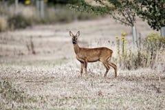 Roe deer, Capreolus capreolus Stock Image