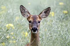 Roe deer, Capreolus capreolus Stock Photography