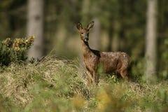 Roe deer, Capreolus capreolus Stock Images