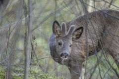 Roe deer (Capreolus capreolus) Stock Image
