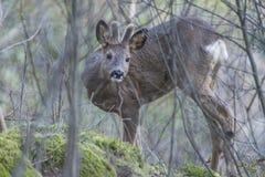 Roe deer (Capreolus capreolus) Royalty Free Stock Image