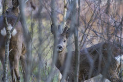 Roe deer (Capreolus capreolus) Royalty Free Stock Images