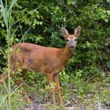 Roe deer (Capreolus capreolus) Royalty Free Stock Photo