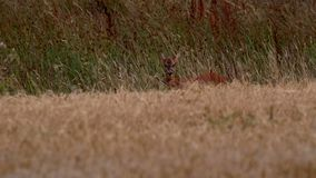 Roe deer, Capreolus capreolus, within a crop field, head shots while roaming taken in the afternoon in august, scotland. Roe deer, Capreolus capreolus, within a stock video