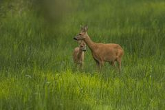 Roe Deer, capreolus de Capreolus, petit cerf commun photo stock