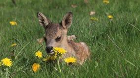 Roe Deer, capreolus del capreolus, Fawn Laying en el prado con las flores amarillas, Normandía en Francia,